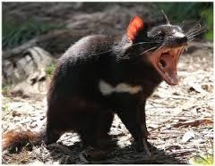 diable de tasmanie (3)