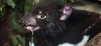 diable de tasmanie (4)