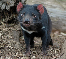 diable de tasmanie (6)