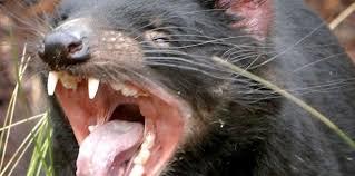 diable de tasmanie (7)