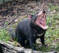 diable-tasmanie-12