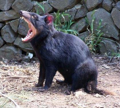 diable_de_Tasmanie_4
